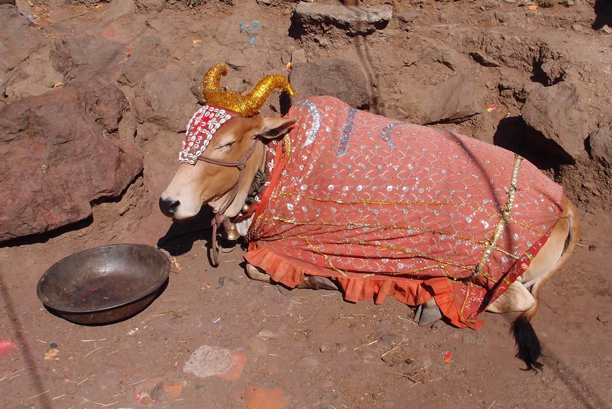 pavagadh-cow
