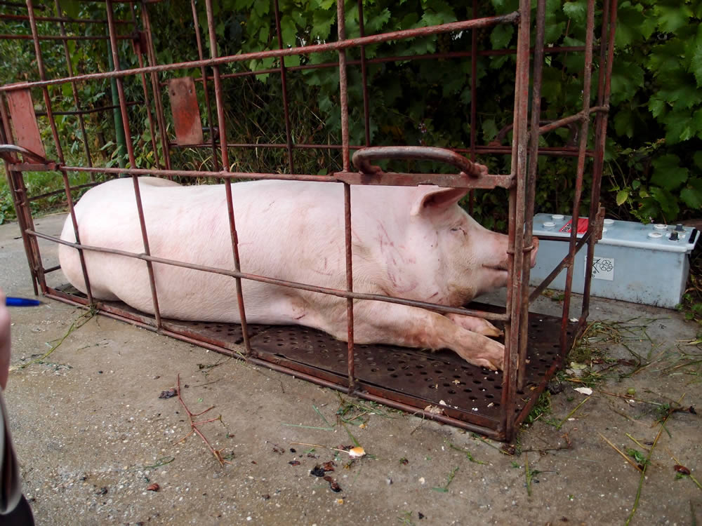pig in cage hungary the pig and the ukraine
