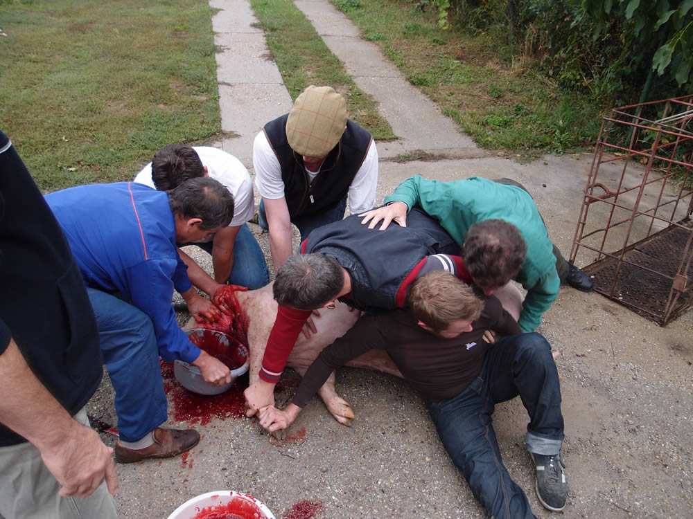 How to slaughter and butcher a pig – Hungary, the pig and